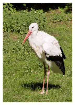 Storch im Tierpark Neumünster