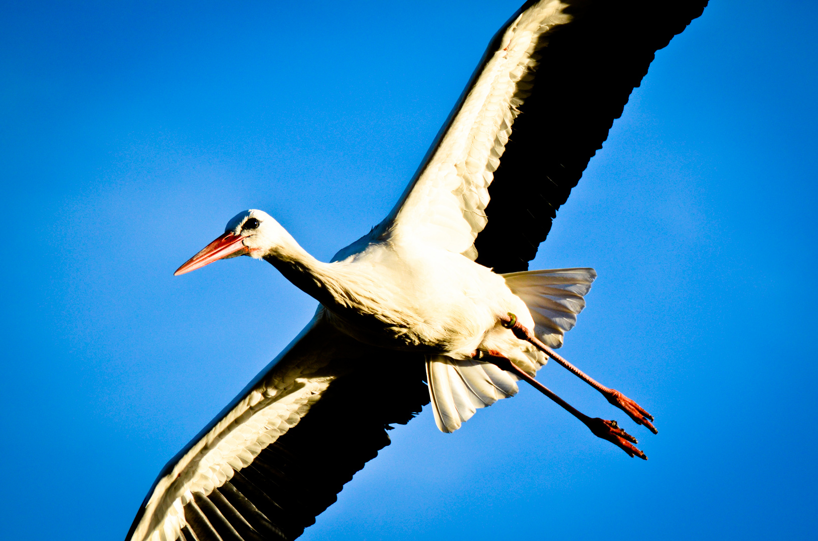 Storch in Bentlage