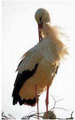 Storch in der Abendsonne - Seitenwind