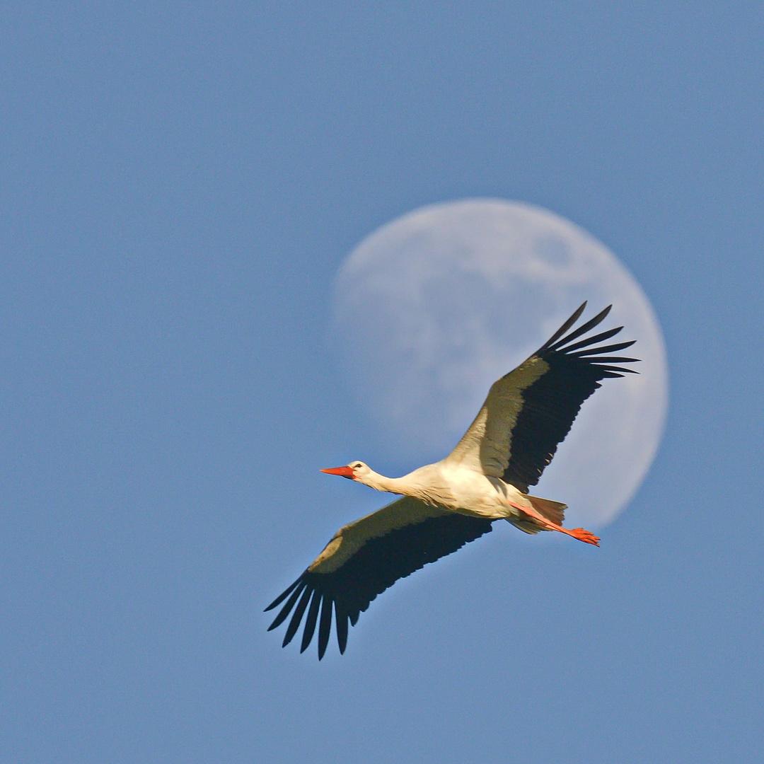 Storch in Marokko