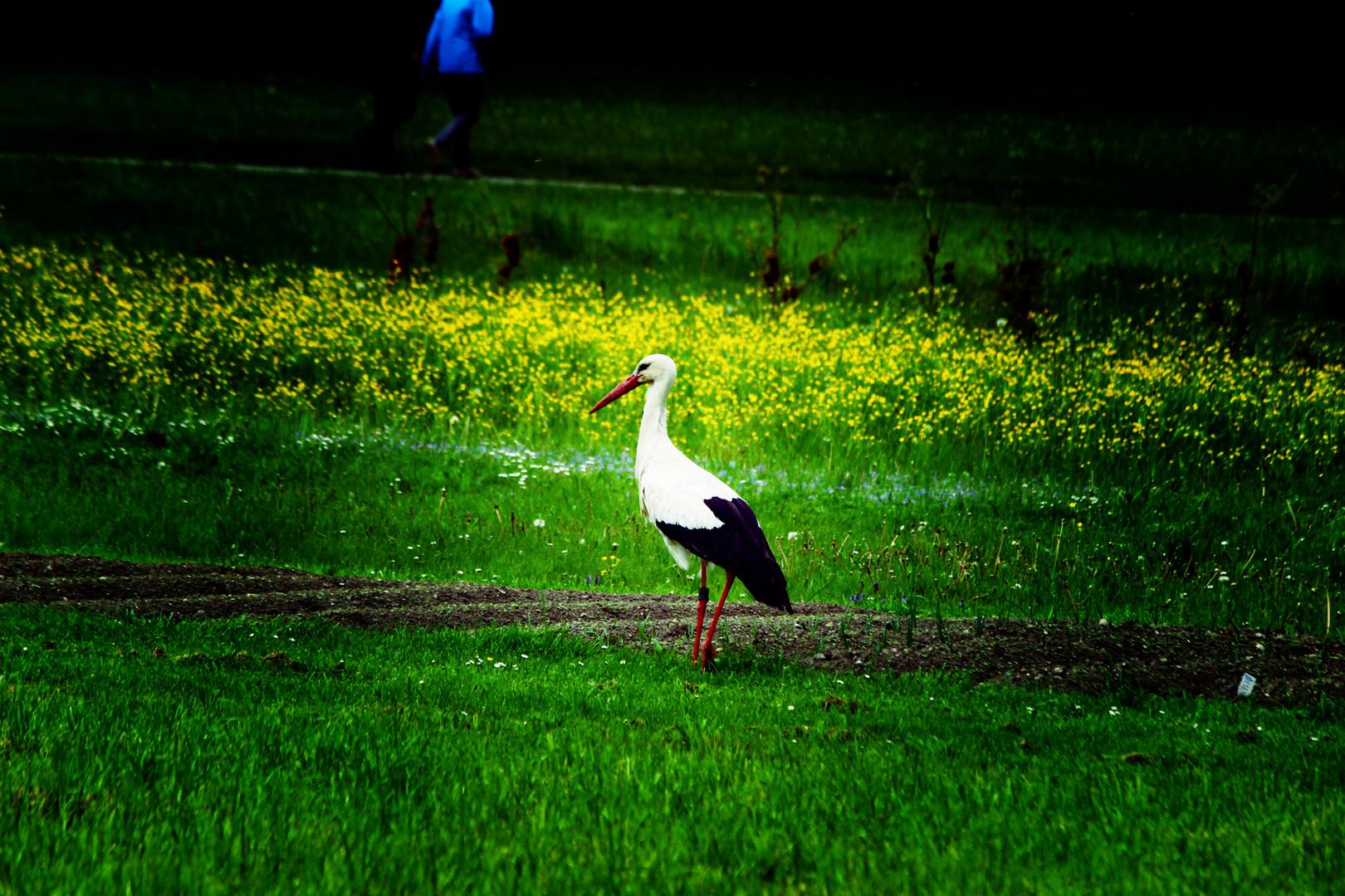 Storch in Oberschwaben