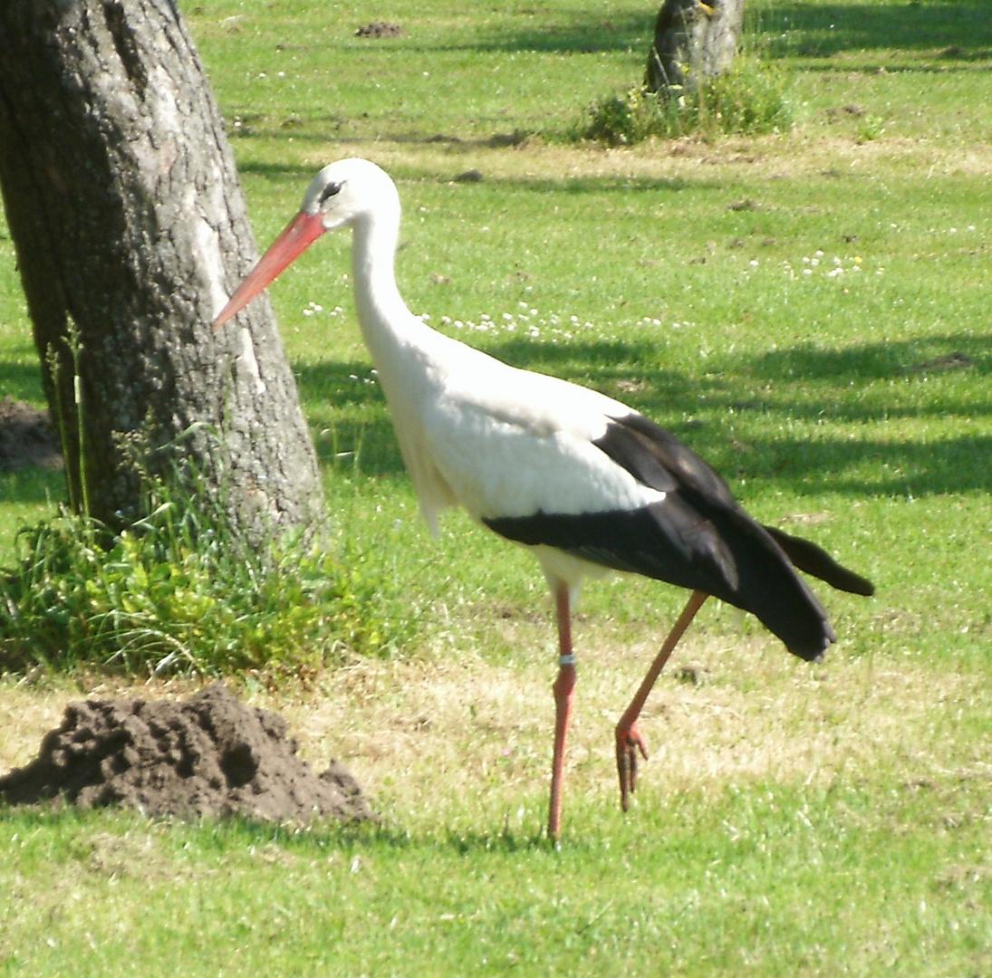 Storch in Rheine