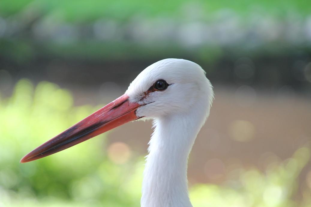 Storch (Junger Storch von seiner schönsten Seite)