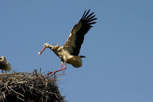 Storch landung im Wind