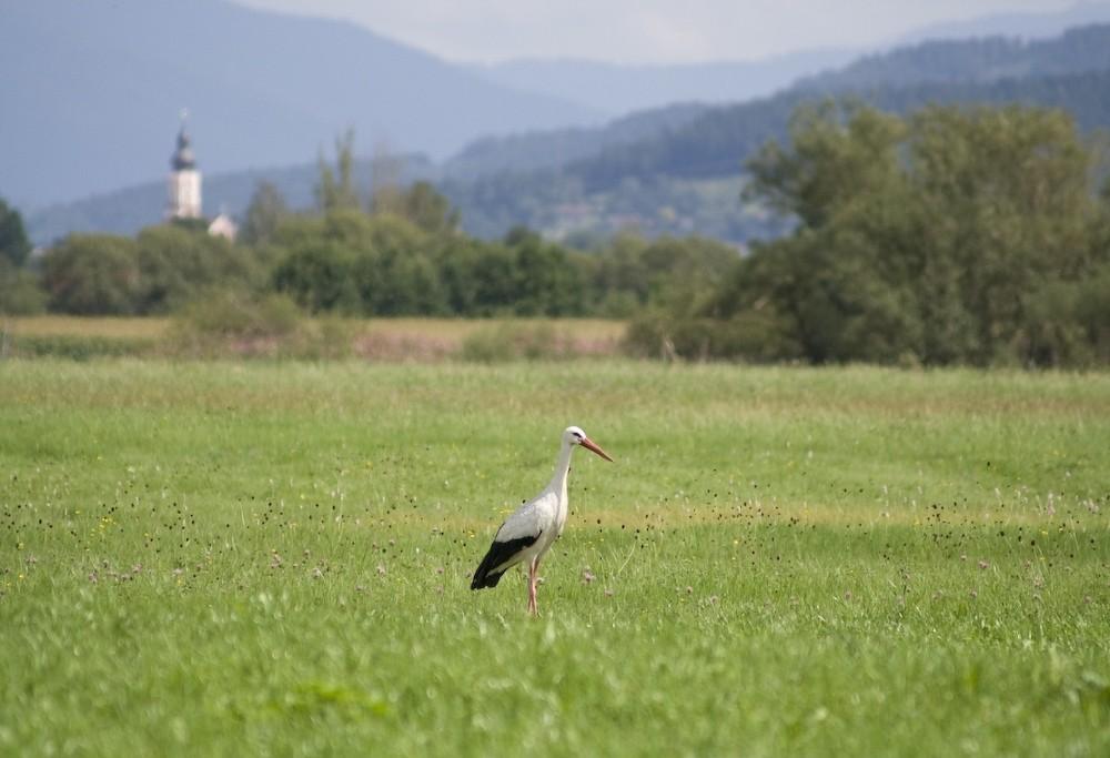 Storch latscht durch die Regenwiesen