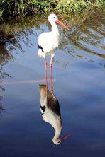 ... Storch mit Spiegelbild...
