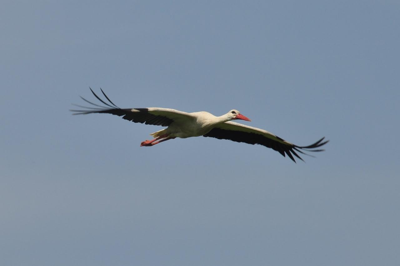 Storch über der Niederwerrieser Brücke
