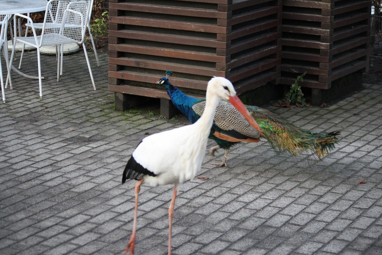 Storch und Pfau im Luisenpark Mannheim