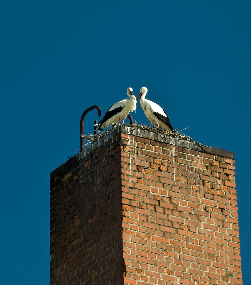 Storchen Liebespaar