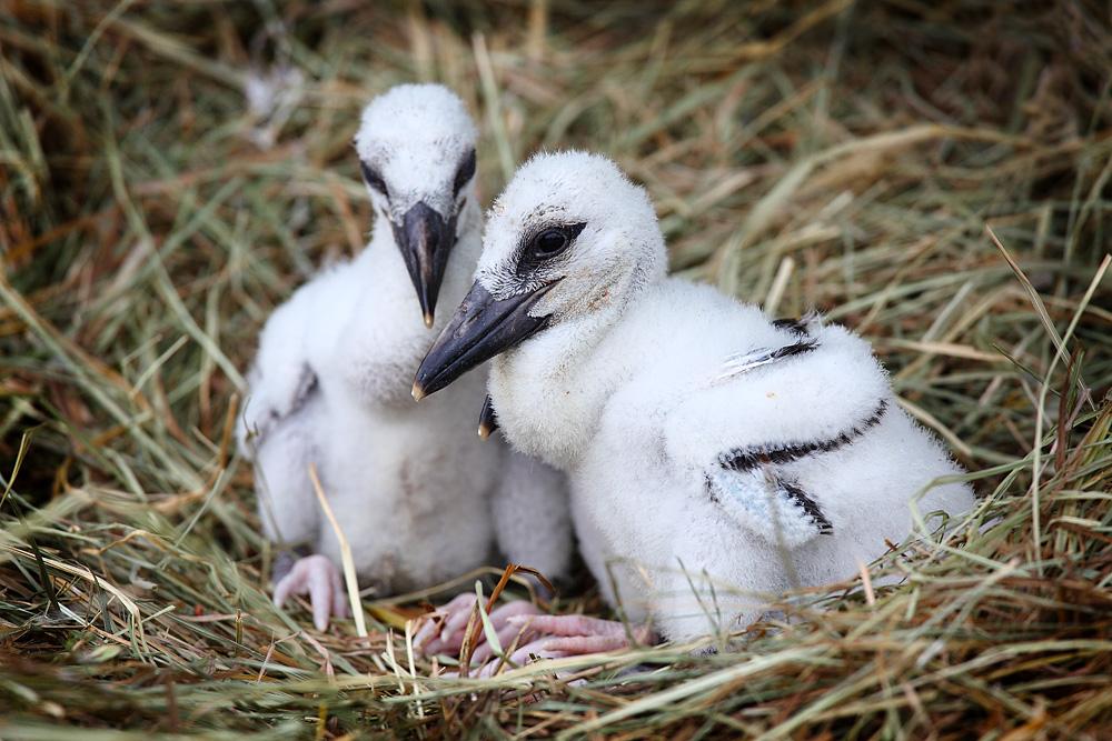 Storchenbabies