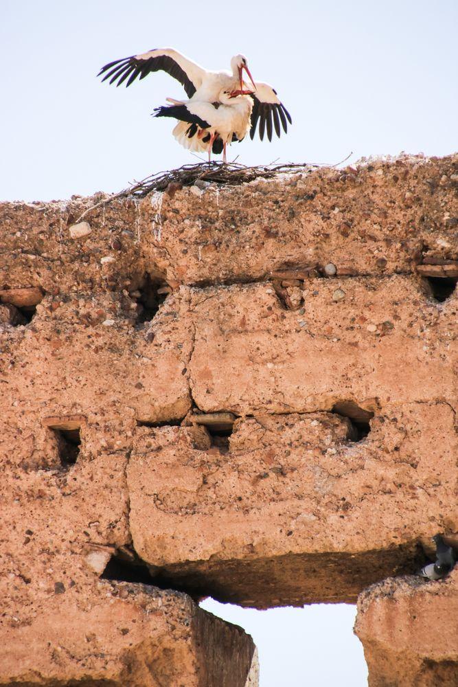 Storchenpaar abflugbereit maroc-02