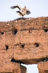 Storchenpaar abflugbereit St-02