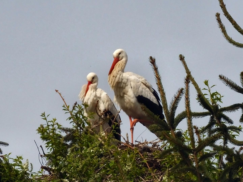 Storchenpaar am Nest