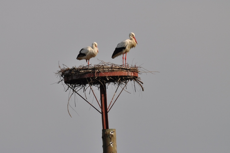 Storchenpaar in den Ahsewiesen bei Hultrop