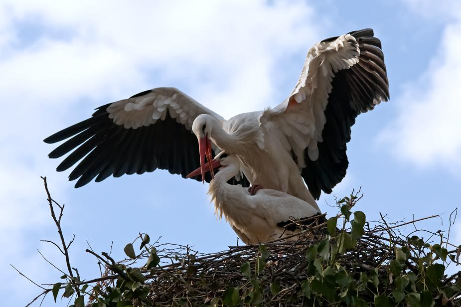 Storchenpaar(ung)
