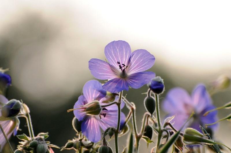 Storchschnabel Blüte in der Sonne
