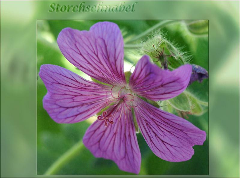 Storchschnabel (Geranium)
