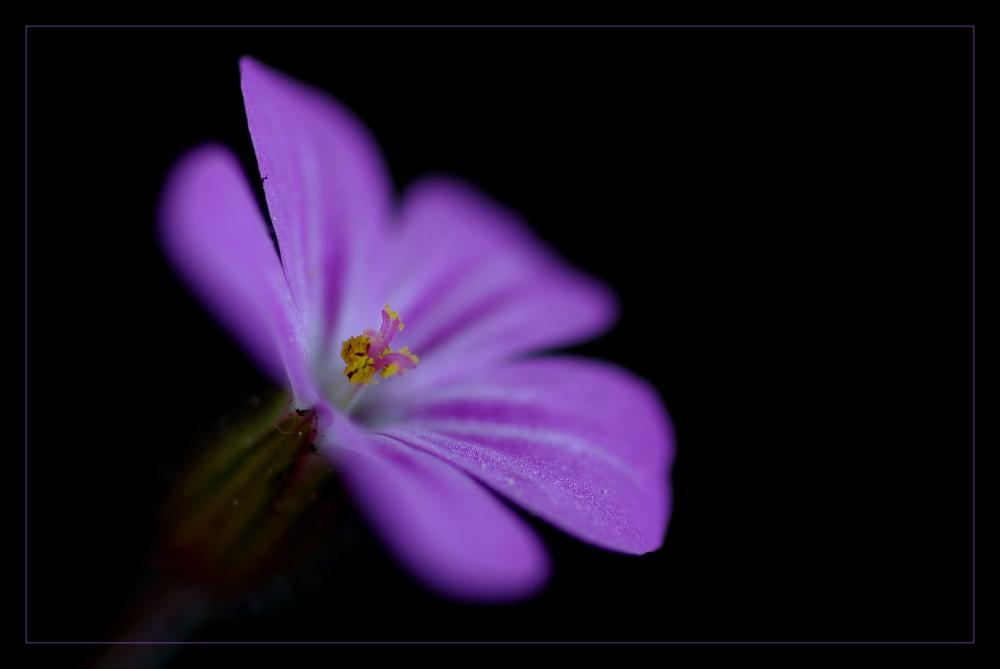 Storchschnabel - geranium robertianum