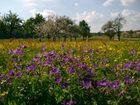 Storchschnabel in Blumenwiese