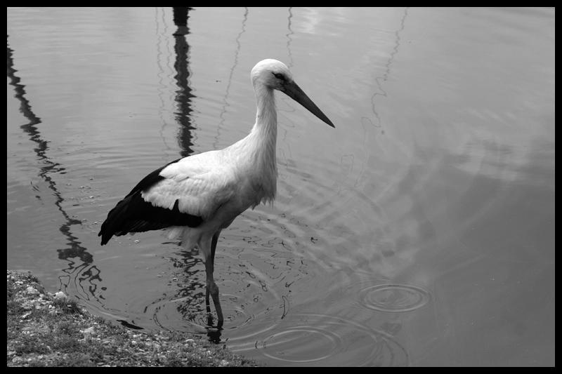 Stork in water