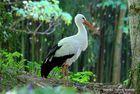 stork in wood