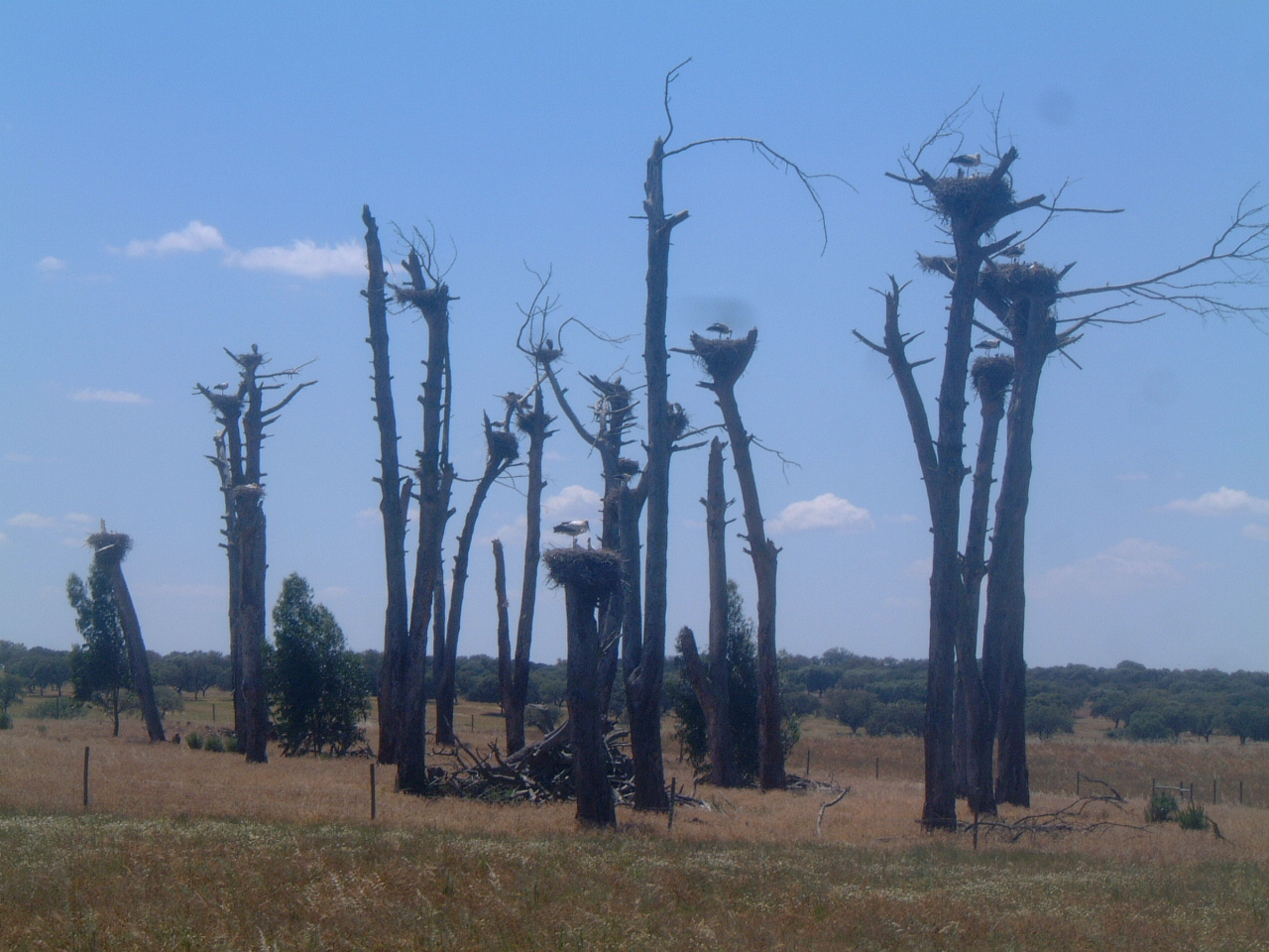 Storks on Died-off Trees on a Road through Portugal