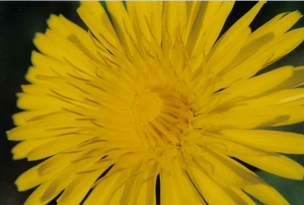 strahle-blume