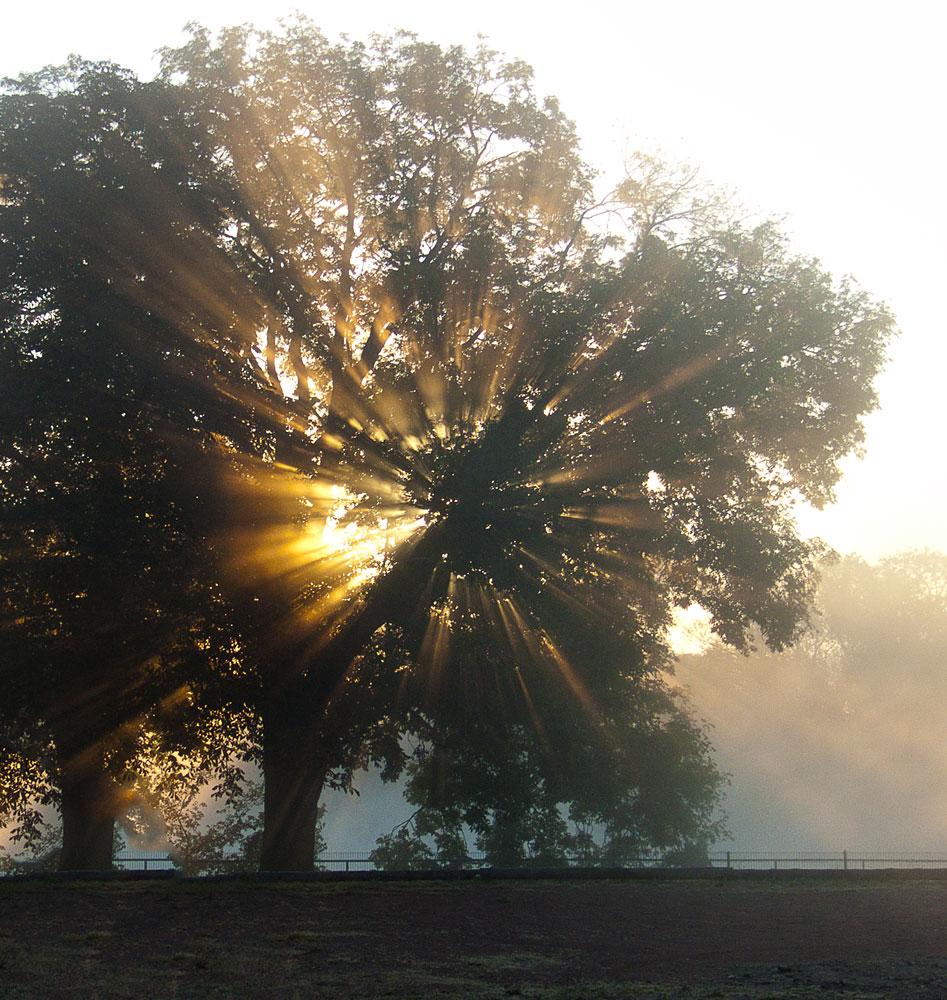"""""""Strahlenbaum"""" an einem nebligen Oktobermorgen"""