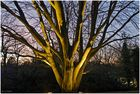 strahlenbaum