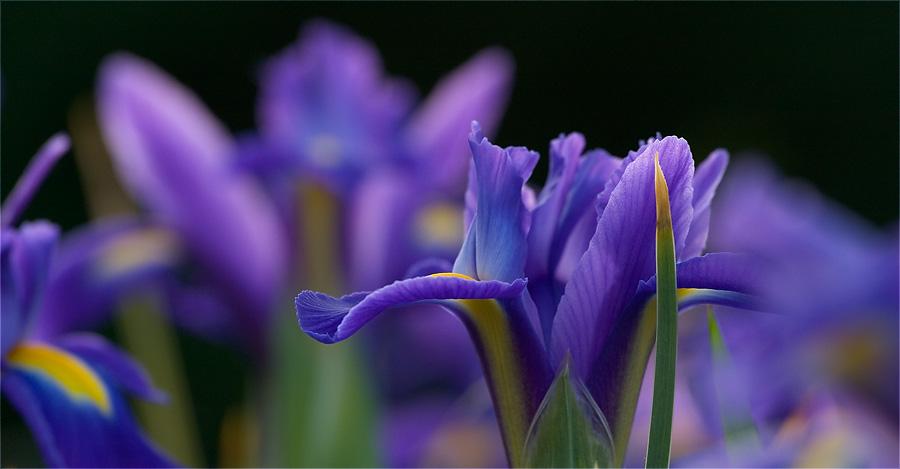 Strahlende Iris