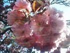 Strahlende Kirschblüte