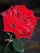Strahlende Rose