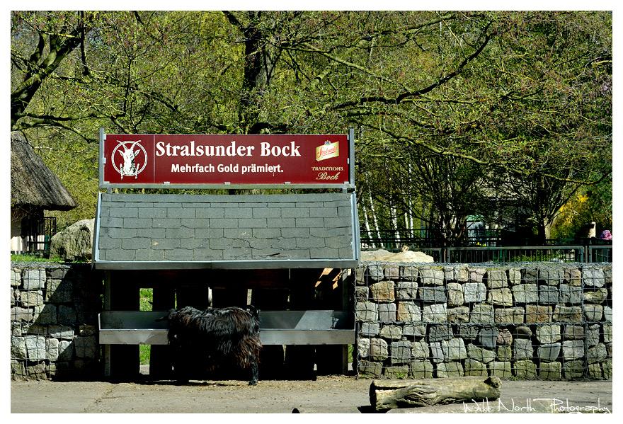Stralsunder Bock