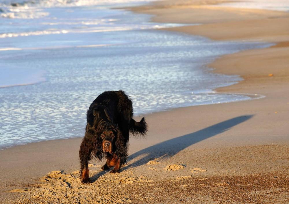 Strand - Hund