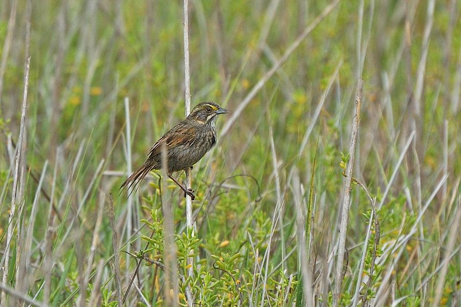 Strandammer - Seaside Sparrow (Ammodramus maritimus)