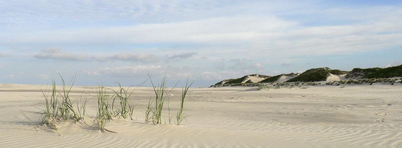 Strandhafer auf Amrum