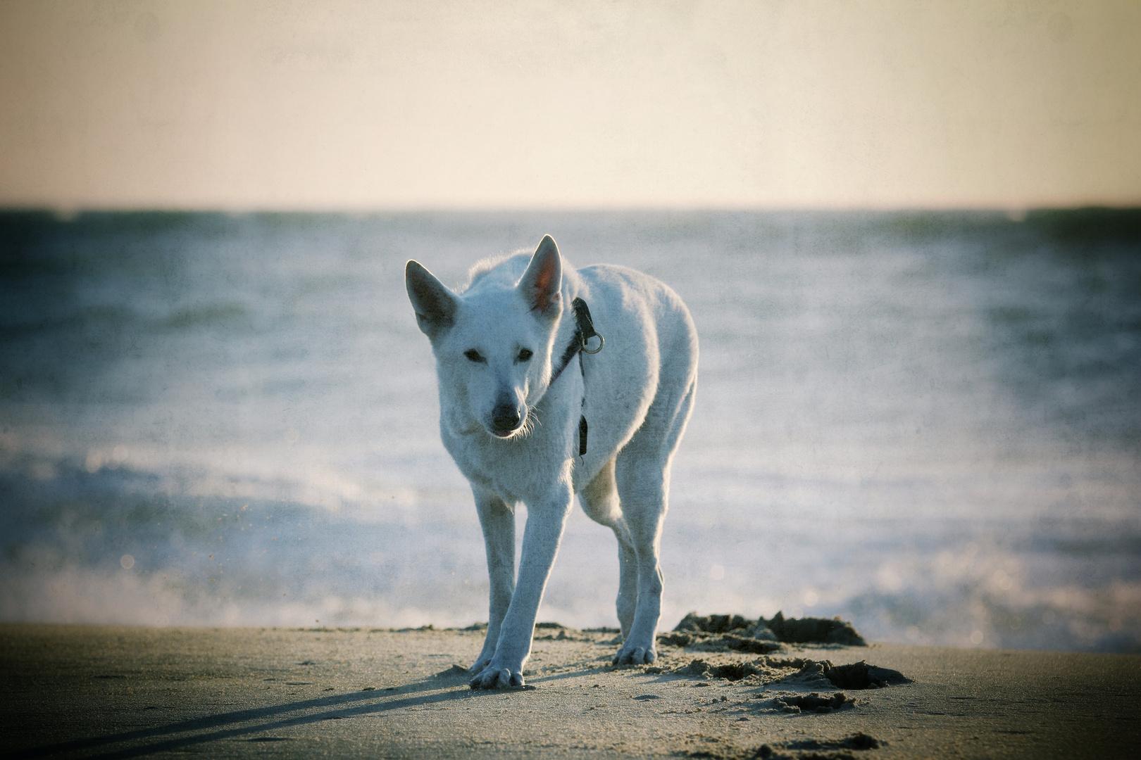 Strandhund