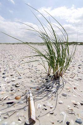 Strandquecke im Muschelteppich