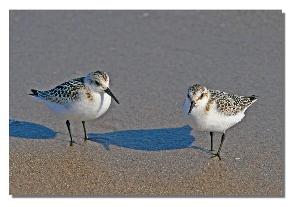 Strandvögel