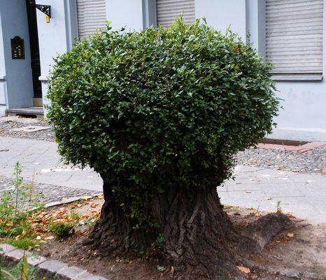 Straßenbaum - Bonsai