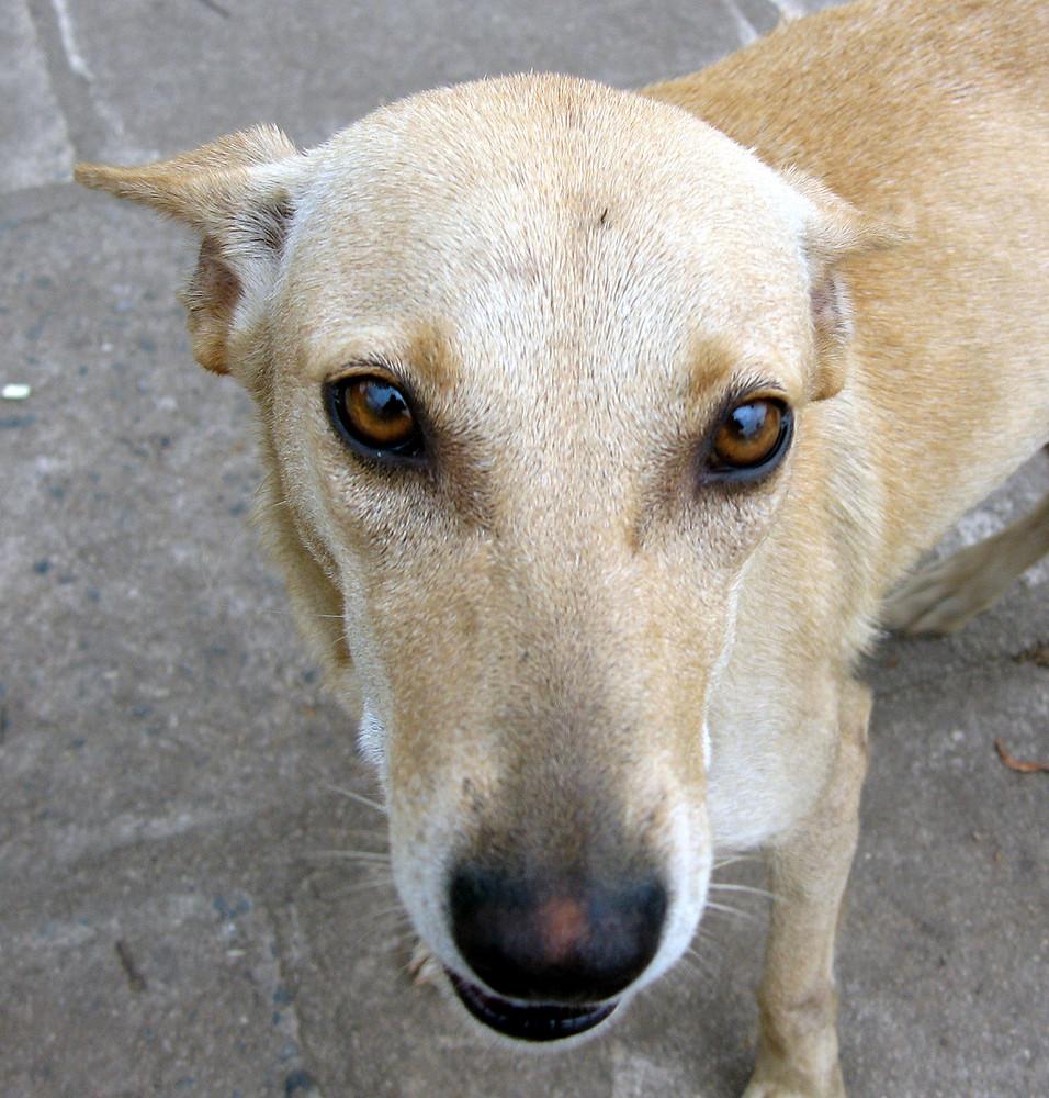 strassenhund in kendy, sri lanka