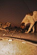 Strassenhunde Hurghada 2008 II.