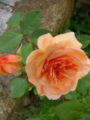 "Strauchrose ""Charming Apricot"""