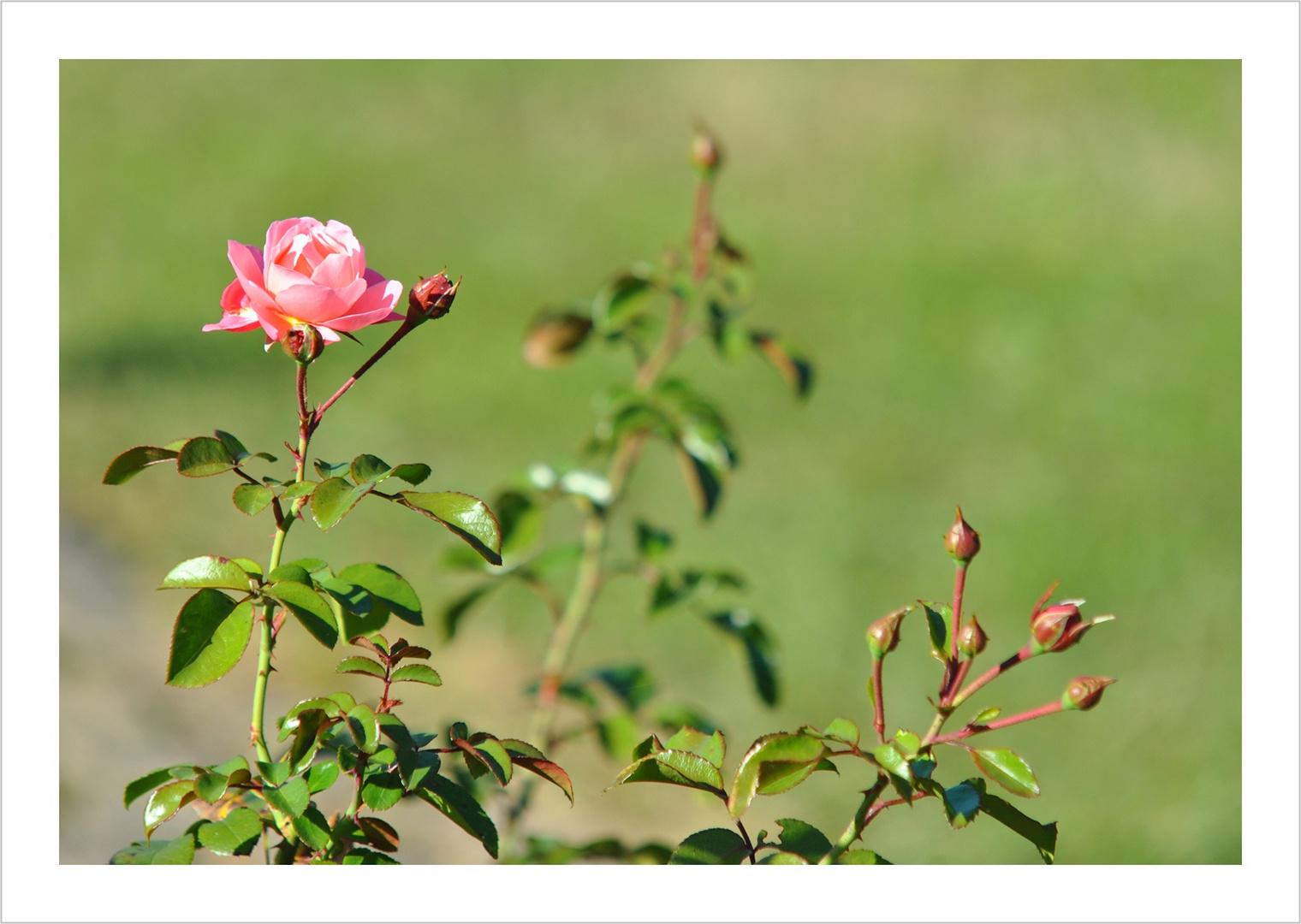 Strauchrose -Mein schöner Garten-