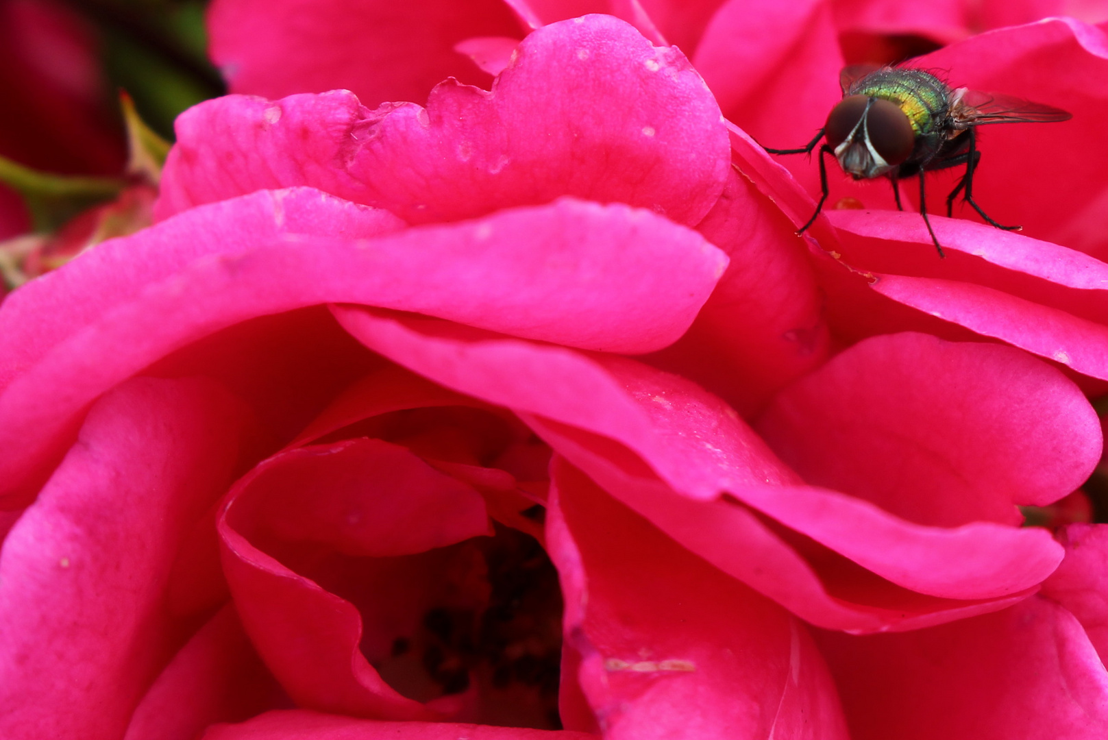Strauchrose mit Fliege