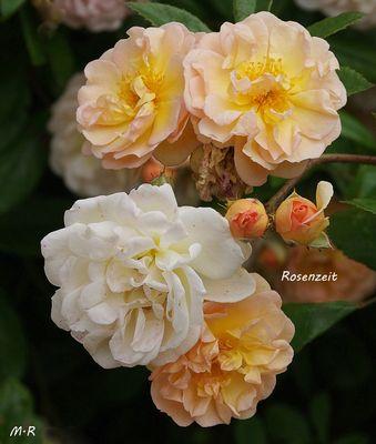 Strauchrosen (Amber Sun )