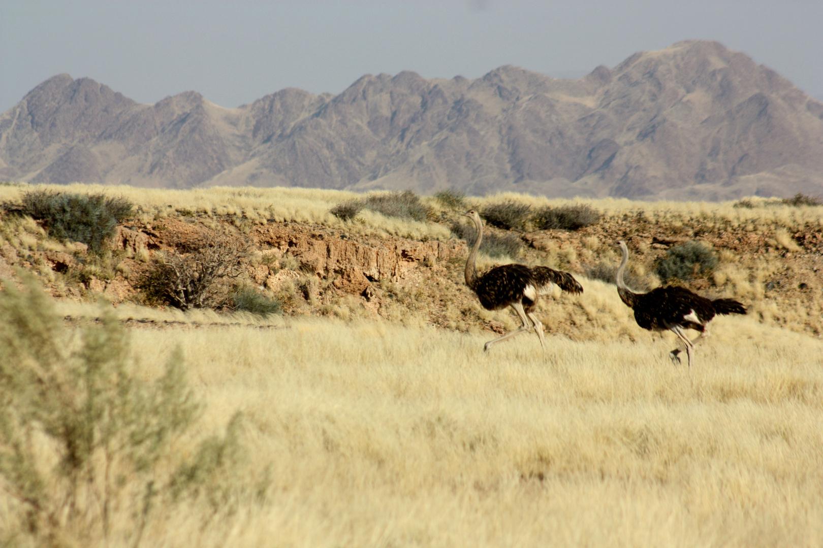 Strauße in Namibia
