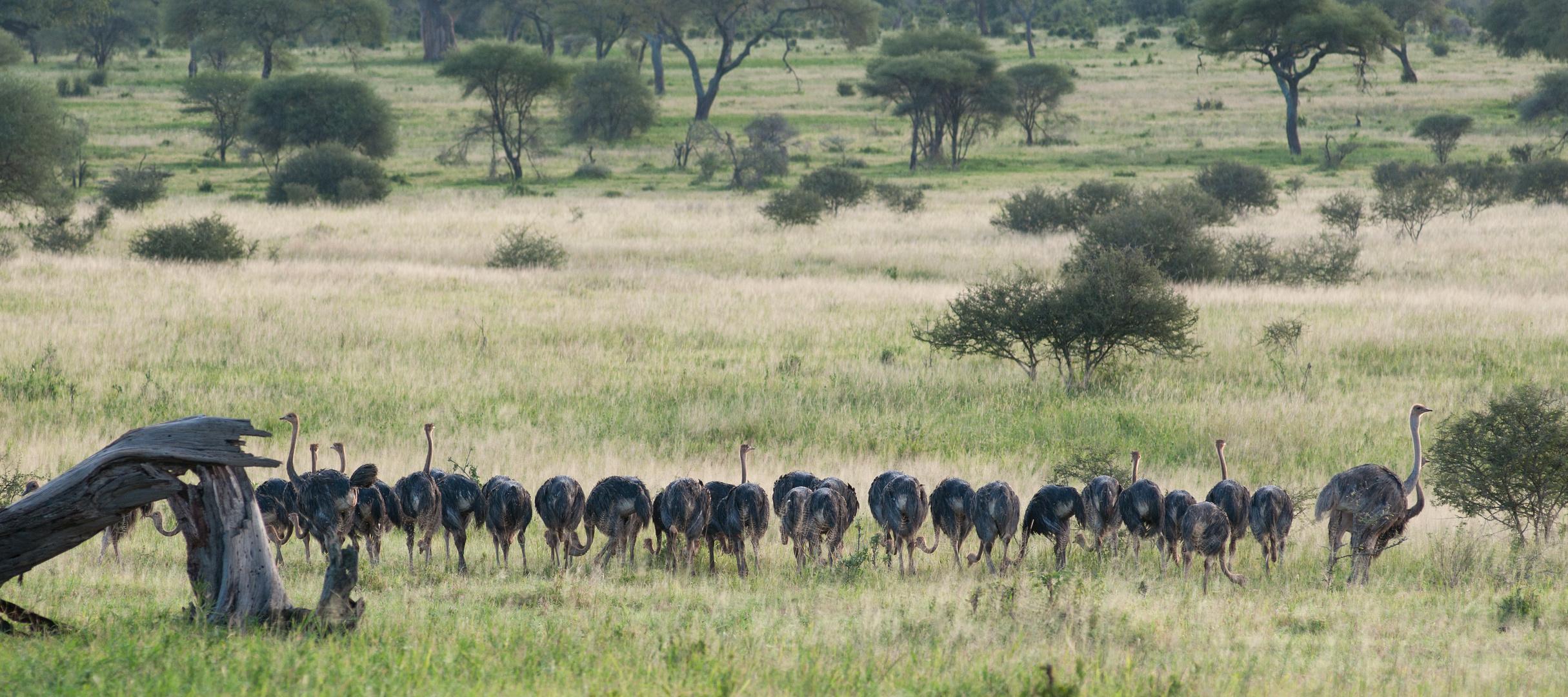 Straussengruppe -Tarangire NP-Tansania