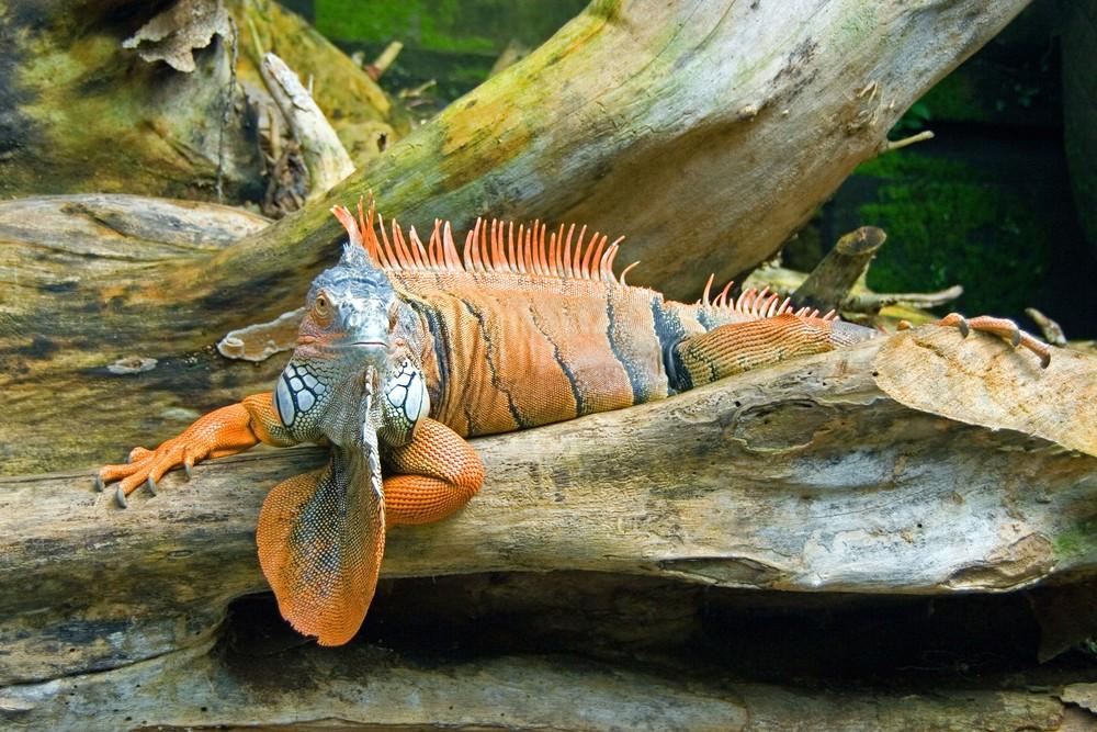 Streichel-Iguana