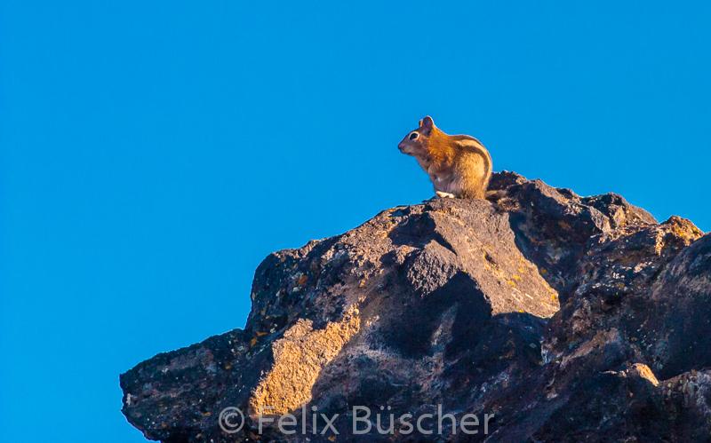 Streifenhörnchen auf Beobachtungsposten